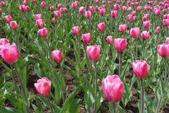 有许多的花圃郁金香桃红色花  库存照片