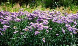 有许多紫色雏菊的一个花圃 库存图片