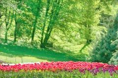有许多红色和桃红色郁金香的庭院 库存图片