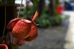 有许多花杯子的热带捕虫草,肉食吃植物的昆虫 免版税库存照片