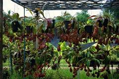 有许多花杯子的热带捕虫草,肉食吃植物的昆虫 库存照片
