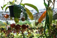 有许多花杯子的热带捕虫草,肉食吃植物的昆虫 库存图片