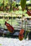 有许多花杯子的热带捕虫草,肉食吃植物的昆虫 免版税图库摄影