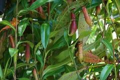 有许多花杯子的热带捕虫草,肉食吃植物的昆虫 免版税库存图片