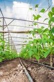 有豆植物的温室 免版税库存照片