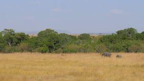 有走在大草原的婴孩的非洲大象母亲 股票录像