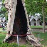 有趣的树干 库存图片