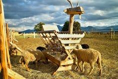 有趣的绵羊饲料箱在联络动物园里 库存照片