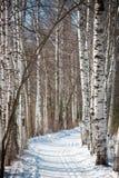 有足迹的胡同和在桦树之间的滑雪轨道在俄罗斯 免版税图库摄影