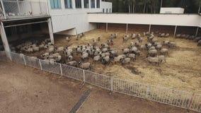有跑和漫游灰色绵羊和黑羊羔牧群的大被操刀的畜栏  股票录像