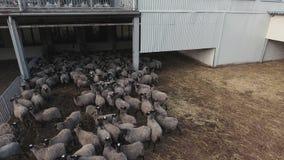 有跑和漫游灰色绵羊和黑羊羔牧群的大被操刀的畜栏  股票视频