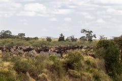 有蹄类动物的储积在岸的 非洲肯尼亚mara马塞人河 免版税库存照片