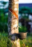 有轻的日落的橡胶园在背景 图库摄影