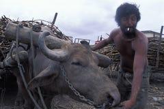 有运载甘蔗,特立尼达的oxes的人 免版税库存照片