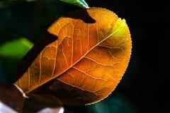 有通过发光在明亮的阳光下的静脉的橙色秋天叶子在黑暗的背景 免版税库存图片