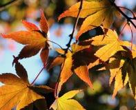 有通过发光的太阳的秋天叶子 免版税库存图片