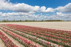有郁金香展示庭院的荷兰乡下 免版税库存照片