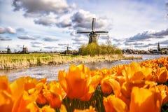 有郁金香的传统荷兰风车在Zaanse Schans,阿姆斯特丹地区,荷兰 库存照片