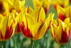 有郁金香的美丽的植物园 免版税库存图片