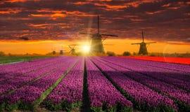 有郁金香领域的风车在荷兰 库存图片