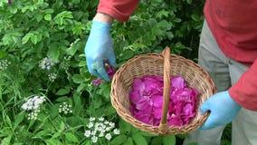 有采摘茶的防护蓝色手套的中医师红色狂放的玫瑰花瓣 股票视频