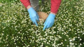 有采摘医疗春黄菊的蓝色防护手套的中医师手开花 影视素材