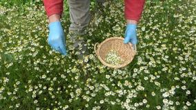 有采摘医疗春黄菊的蓝色防护手套的农夫手开花 股票视频