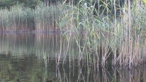 有里德和反射的自然湖 股票录像