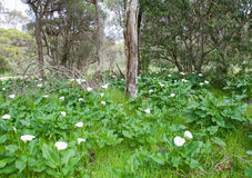 有野生百合的森林 免版税库存图片