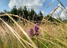 有野花和杉木森林的狂放的草甸在背景中 免版税图库摄影