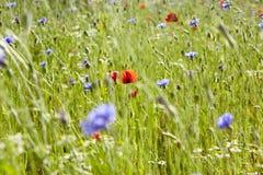 有野花的花草甸 免版税库存图片