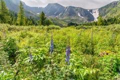 有野花的草甸在阿尔泰共和国临近Karakol湖第四个湖  俄国 图库摄影