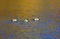 有野鸭鸭子的叶子池塘,加拿大鹅和充满活力的颜色浇灌表面反射 免版税库存照片