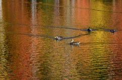有野鸭鸭子的叶子池塘,加拿大鹅和充满活力的颜色浇灌表面反射 库存图片