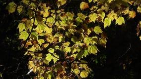 有金黄叶子的美丽的高地森林在树在尼泊尔 远足在喜马拉雅山 股票录像