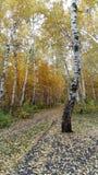 有金黄桦树的秋天公园 图库摄影
