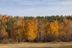 有金黄桦树的秋天森林和绿色具球果冷杉木和干草在领域在一个晴天 图库摄影