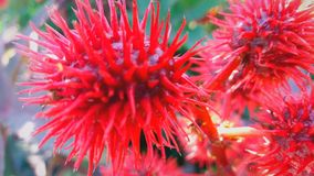 有钉的奇怪的红色植物 库存照片