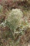 有银色多刺的开花的一棵植物在干象草的草本中 免版税库存照片