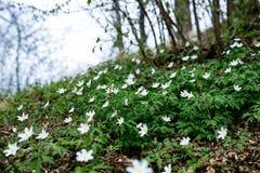 有银莲花属的草甸 库存照片