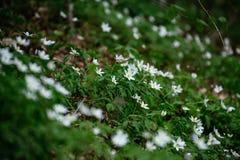 有银莲花属的草甸 库存图片