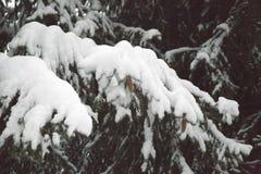 有锥体和雪的云杉的爪子 免版税库存照片