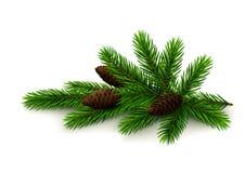 有锥体的云杉的枝杈在白色背景 免版税库存图片