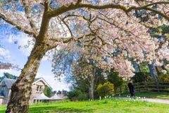 有长凳的树开花在反对蓝天的植物园里, 库存照片