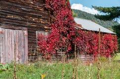 有长大它的红色藤的老土气被风化的谷仓 免版税图库摄影