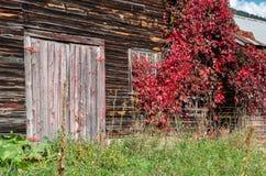 有长大它的红色藤的老土气被风化的谷仓 免版税库存图片