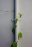 有长大的常春藤的白色墙壁。 图库摄影