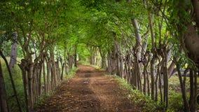 有长得太大的树的土路 库存照片