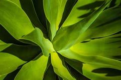 有长的剑叶子的绿色棕榈植物关闭  库存图片