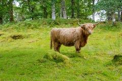 有长的垫铁的长毛的母牛女性在绿色牧场地 免版税库存照片